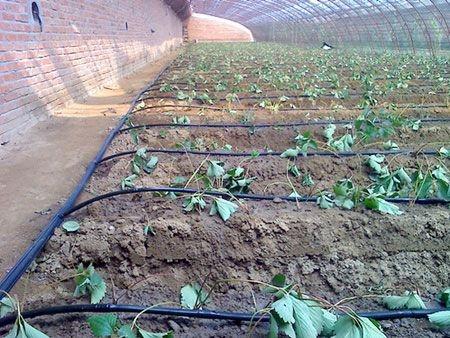 大棚草莓滴灌管